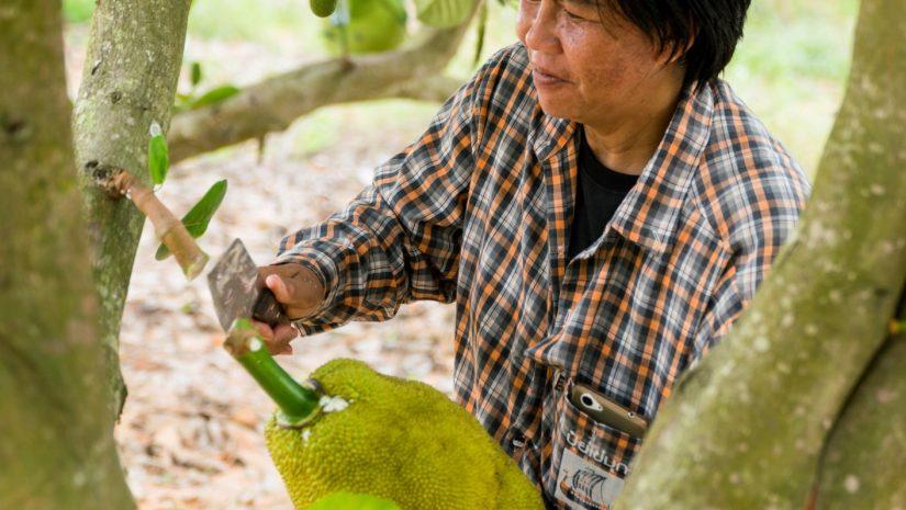 Nipalin bei der Jackfruit-Ernte